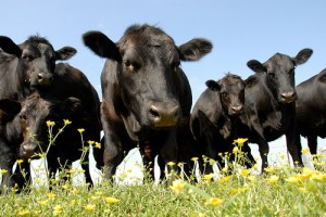 Drought Stressed Beef Cow Herds