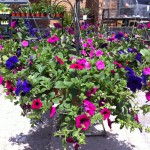 Roses and Wave Petunias-https://www.russellfeedandsupply.com