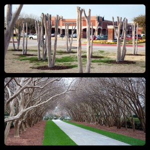 Pruning crape myrtle trees Russell Feed and Supply in Ft. Worth Texas