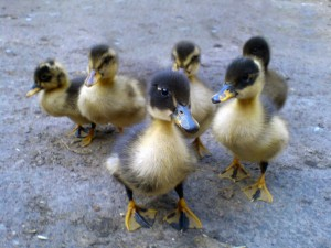 Six_ducklings