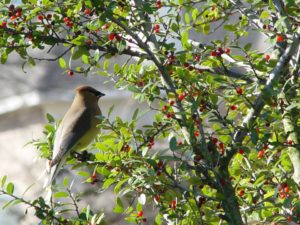 wild birds - cedar wax wing
