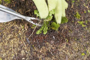 removing weeds from the garden