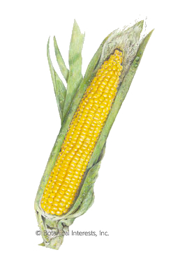 Growing Summer Corn