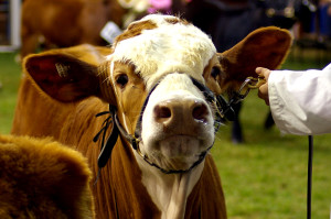 Show Cattle Supplements