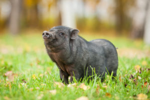 Caring for your Micro Mini Pig